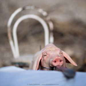 Poor Piggy